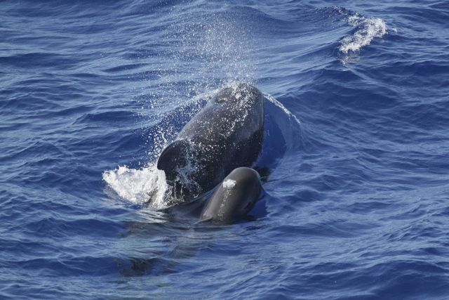 False killer whale Picture