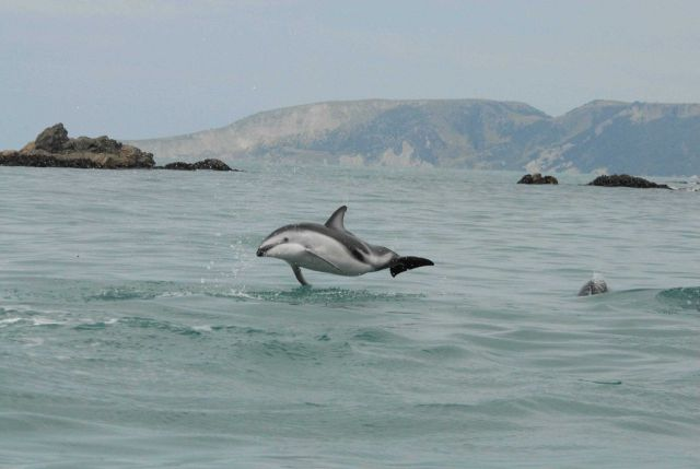 Dusky dolphin (Lagenorhynchus obscurus) Picture