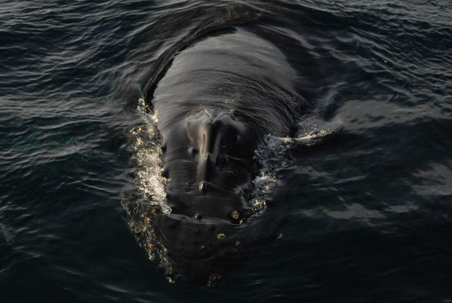 Humpback whale head Picture