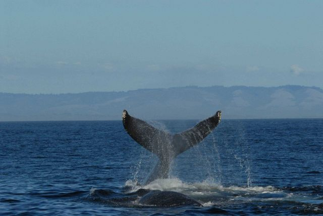 Humpback whale tail Picture