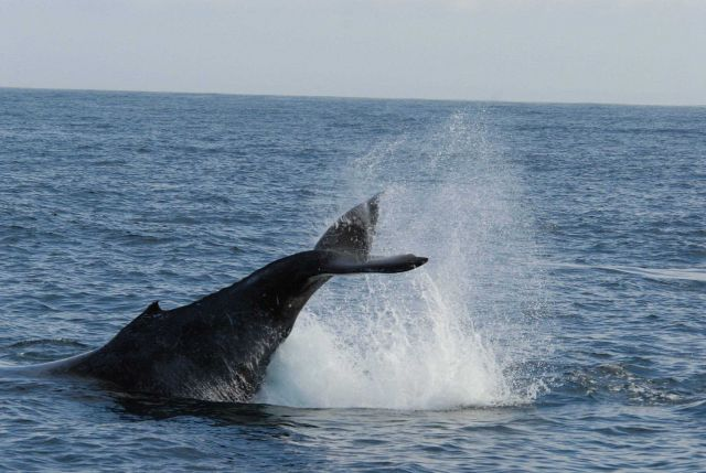 Humpback whale diving Picture