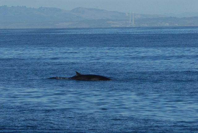 Minke whale off the