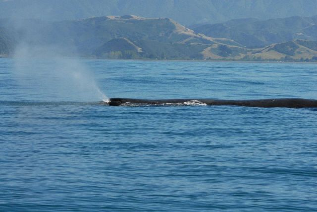 Sperm whale blowing - note the angled exhalation. Picture