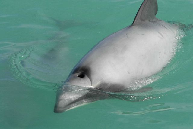 Hector's dolphin (Cephalorhynchus hectori) - the smallest of the dolphin family is found only in New Zealand waters Picture