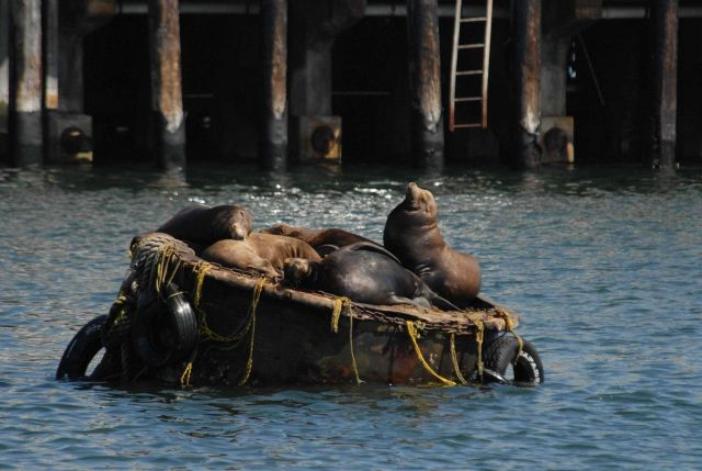 California sea lions on mooring buoy Picture