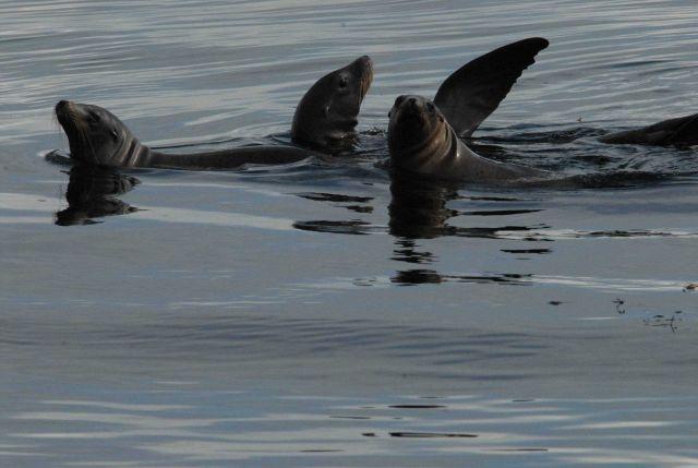 California sea lion Picture