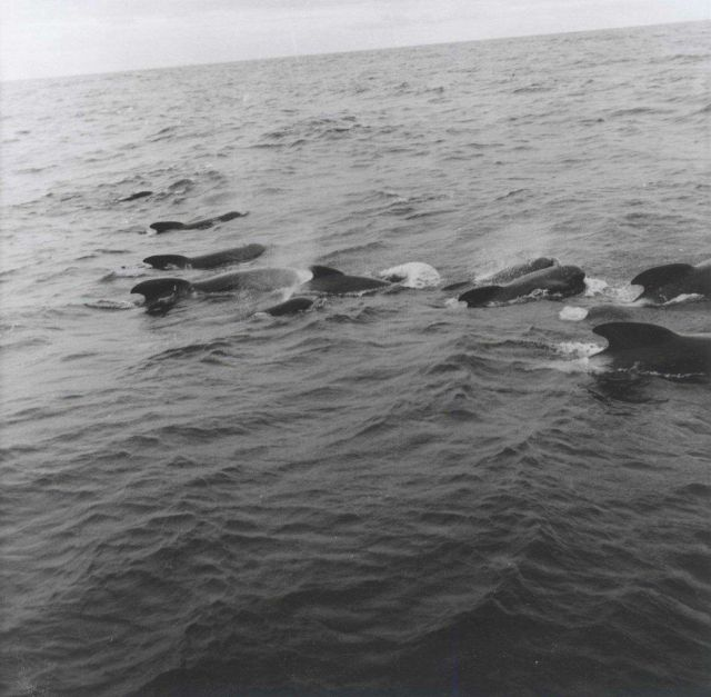 A pod of pilot whales Picture