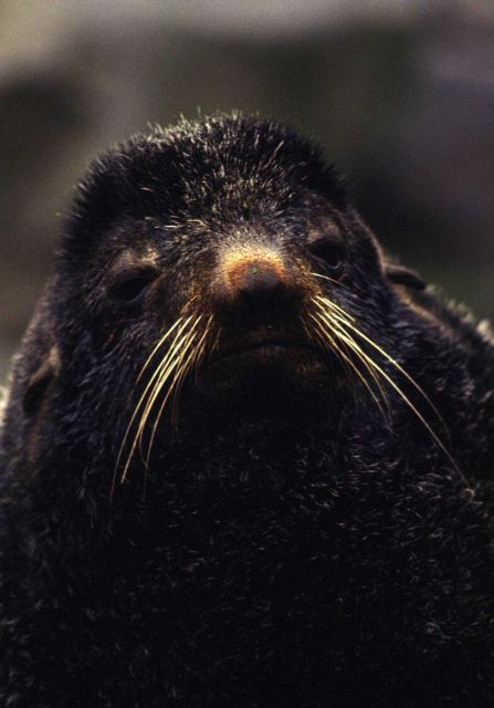 Closeup of a fur seal Picture