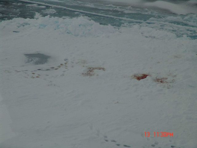 Polar bear tracks and site of seal kill on sea ice Picture