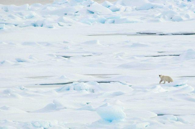 Polar bear on sea ice Picture
