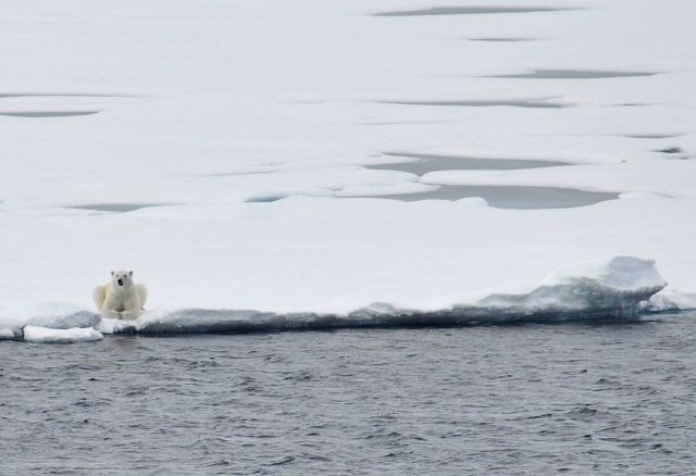 Polar bear on sea ice Picture