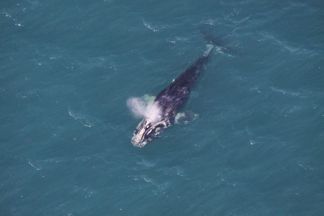 Disentangled right whale off the coast of Cape Canaveral Picture