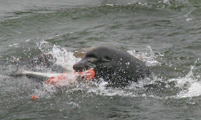 California sea lion eating a salmonid Picture