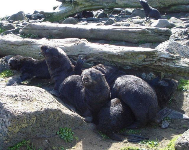 Fur seal pups. Picture