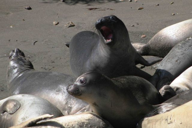 Two young elephant seals Picture