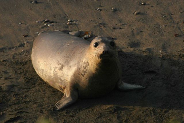 Portrait of an elephant seal cow. Picture