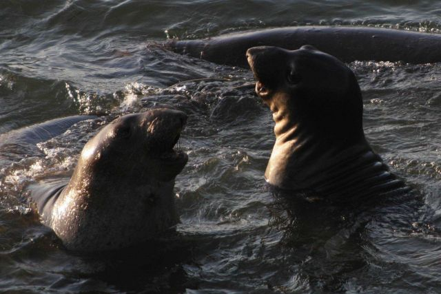 Two young elephant seals playing in the shallow water at Point Piedras Blancas. Picture
