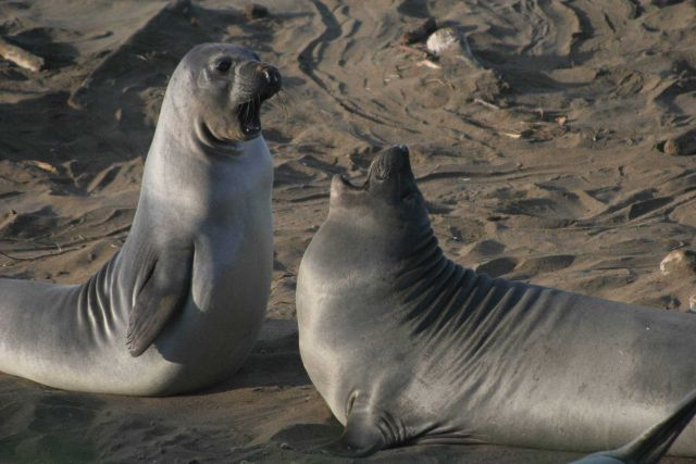 Two elephant seal pups play-fighting on the beach Picture