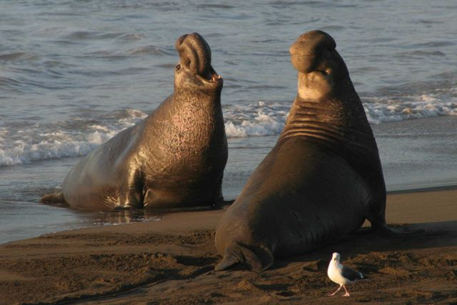 Two bull elephant seals Picture