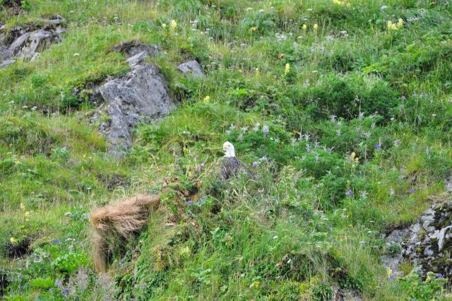 Bald eagle peeking out from stand of wildflowers and other vegetation. Picture
