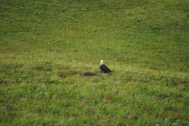 Bald eagle in the grass on the lower slopes of Unalaska Island Picture