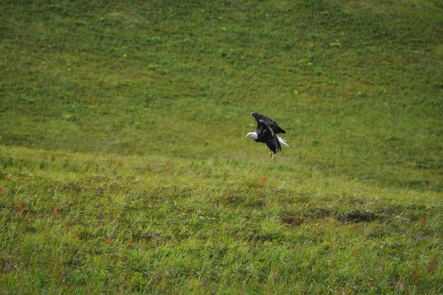 Bald eagle rising up seemingly vertically out of grass Picture