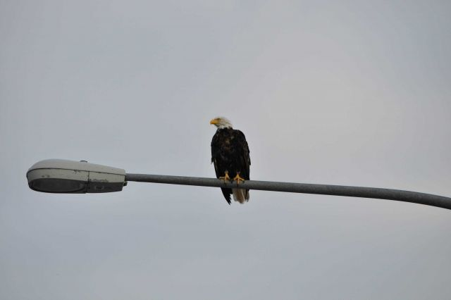 Bald eagle sitting on a lamp post Picture