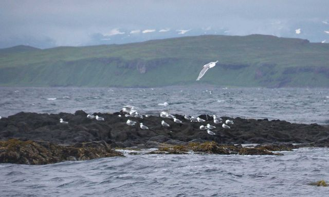 Gulls sitting out a breezy day on an offshore rock Picture