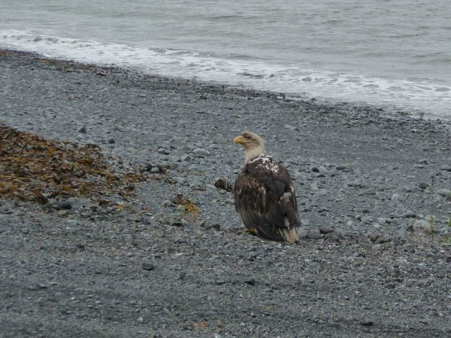 Bedraggled immature bald eagle on a cobble beach Picture