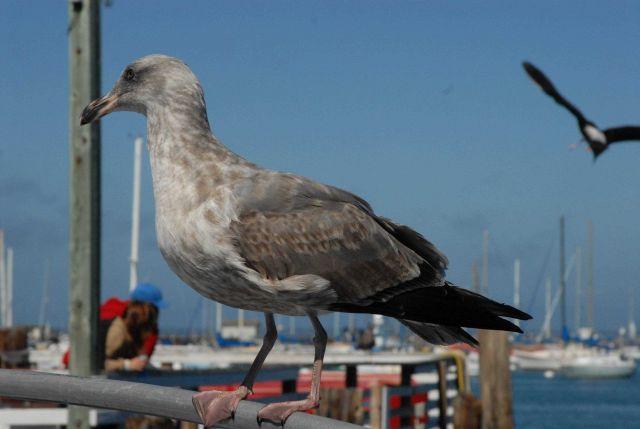 Sea gull Picture