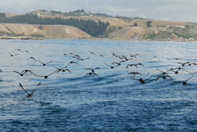 Shearwaters Picture