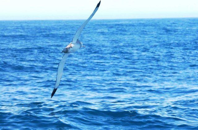 Royal albatross Picture