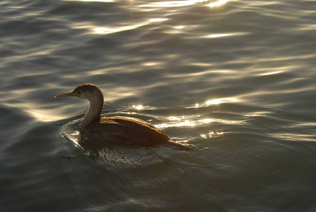 Cormorant swimming Picture