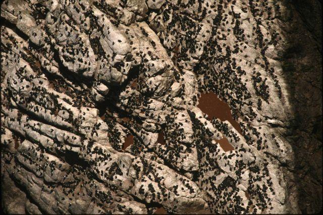 Common murre colony Picture