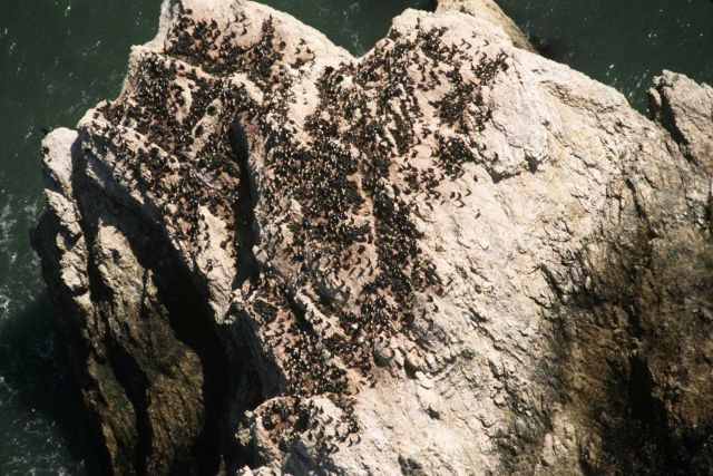 Common murre colony Picture