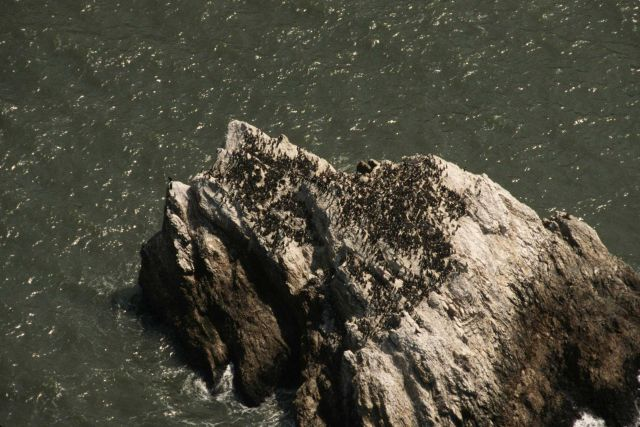 A common murre colony on an offshore rock Picture