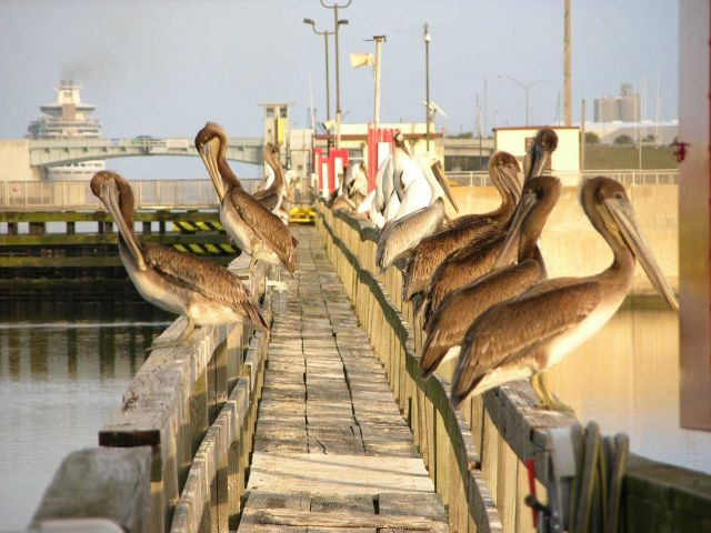 Brown pelicans and wood storks on a Florida pier near the cruise ship docks. Picture