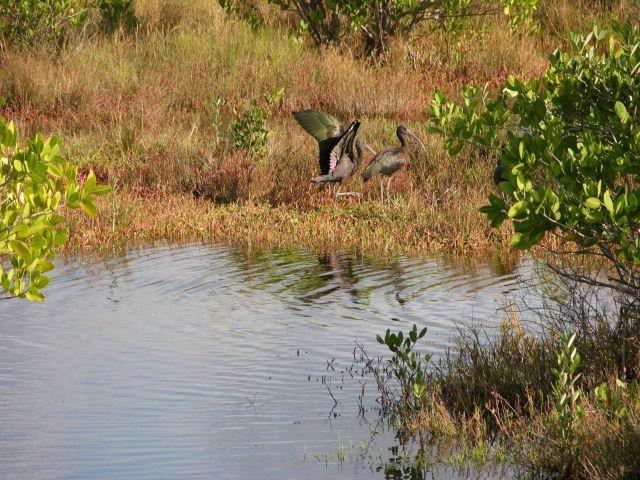 Glossy ibis ( Plegadis falcinellus ) Picture