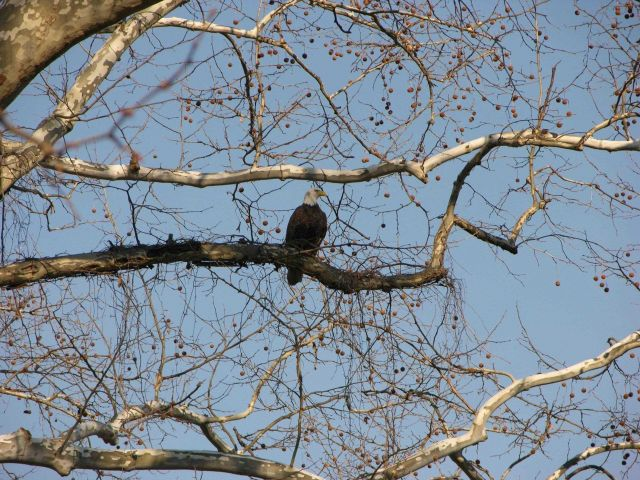 Bald eagle perched in a tree Picture