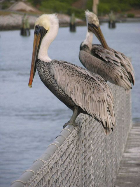 Pelicans on a fence Picture