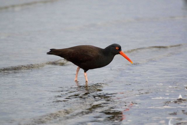 American Black Oystercatcher (Haematopus bachmani) Picture