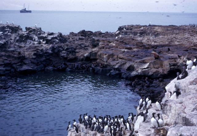 Murres and sealions share a quiet grotto Picture