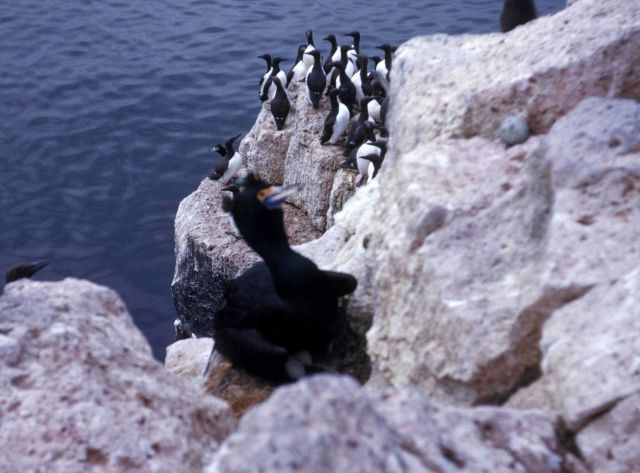 A red-faced cormorant in the foreground and murres Picture