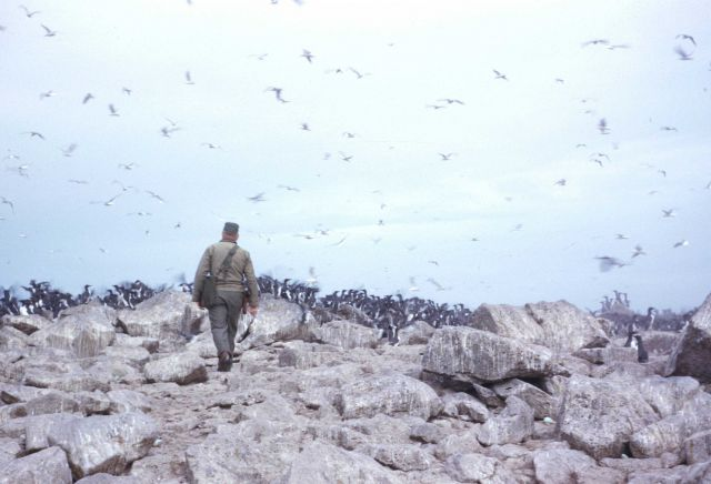A crewman off the PATHFINDER approaching a colony of murres Picture