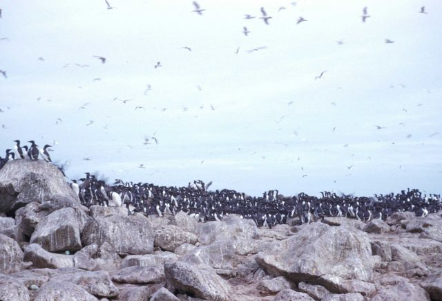 A colony of murres Picture