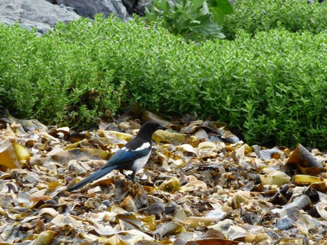 Black-billed magpie on the beach on Kodiak Island Picture