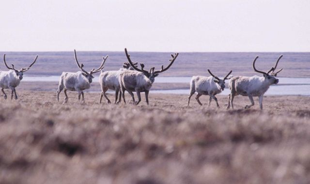 Part of a large herd of caribou (Rangifer tarandus) Picture