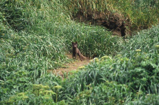 An arctic fox (Alopex lagopus) Picture