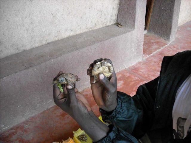 Baby tortoises Picture