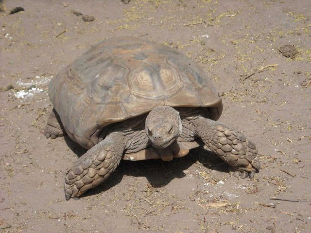 A sulcata tortoise (Geochelone sulcata) , a land-dwelling reptile native to Northern Africa Picture